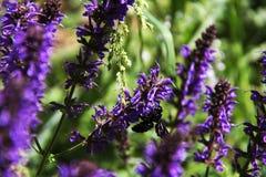 Insecto interesante en las flores púrpuras foto de archivo