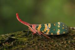 Insecto Latern fotografía de archivo libre de regalías