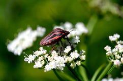 Insecto macro Imagen de archivo libre de regalías
