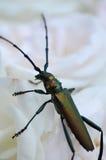 Insecto macro Fotografía de archivo libre de regalías