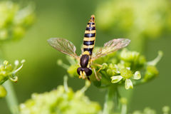 Insecto macro de la mosca de la visión en la flor del verdor Foco selectivo, profundidad del campo baja Imagen de archivo