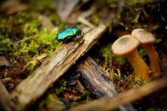 Insecto macro del escarabajo Imágenes de archivo libres de regalías