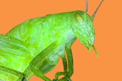 Insecto macro extremo Imagen de archivo