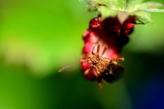 Insecto marrón grande del escudo en una fresa Imagenes de archivo