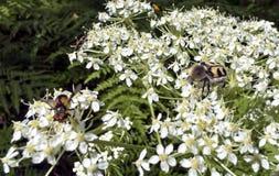 Insecto melenudo como una abeja del manosear Fotografía de archivo