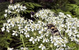 Insecto melenudo como una abeja del manosear Imagen de archivo libre de regalías