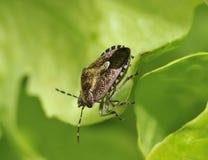 Insecto melenudo de Shieldbug o del endrino Foto de archivo libre de regalías