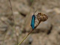 Insecto metálico azul fotografía de archivo