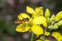 Insecto minúsculo del balteatus del episyrphus en una flor de la primavera Foto de archivo libre de regalías