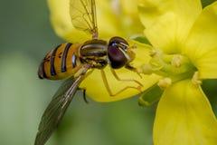 Insecto minúsculo del balteatus del episyrphus en una flor de la primavera Imagenes de archivo