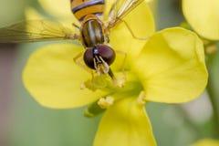 Insecto minúsculo del balteatus del episyrphus en una flor de la primavera Imagen de archivo