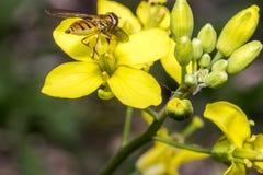 Insecto minúsculo del balteatus del episyrphus en una flor de la primavera Fotos de archivo