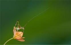 Insecto minúsculo del saltamontes Imágenes de archivo libres de regalías