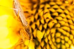 Insecto minúsculo en una flor amarilla Imagen de archivo