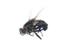 Insecto muerto de la mosca Fotografía de archivo