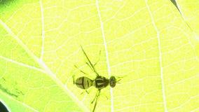 Insecto natural de la mosca del vinagre metrajes