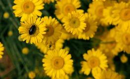 Insecto negro en la flor amarilla Fotos de archivo