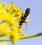 Insecto negro en una flor amarilla en naturaleza Fotos de archivo libres de regalías