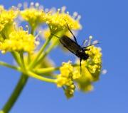 Insecto negro en una flor amarilla en naturaleza Foto de archivo