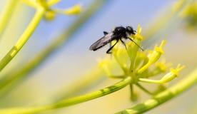 Insecto negro en una flor amarilla en naturaleza Imagen de archivo libre de regalías