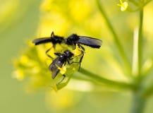 Insecto negro en una flor amarilla en naturaleza Foto de archivo libre de regalías