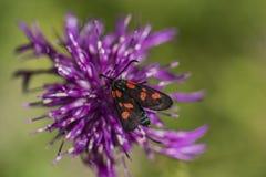 Insecto negro rojo en la flor del cardo Fotos de archivo libres de regalías