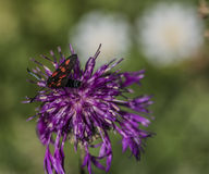 Insecto negro rojo en la flor del cardo Imagenes de archivo
