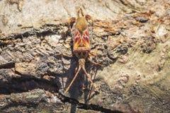Insecto occidental del insecto de la semilla de la conífera, occidentalis del Leptoglossus, arrastrándose imagen de archivo