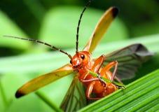 Insecto pequeno Fotos de Stock