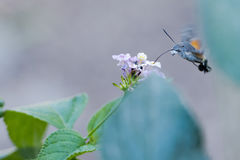 Insecto que chupa el polen Imagenes de archivo