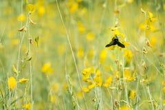 Insecto que come el polen del Xylocopa Fotos de archivo libres de regalías