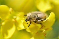Insecto que come la flor del canola fotografía de archivo libre de regalías