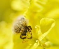 Insecto que come la flor del canola imagen de archivo