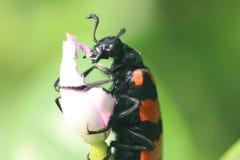 Insecto que come la flor en un jardín imagen de archivo