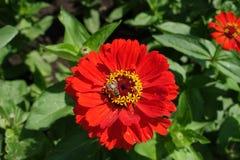 Insecto que poliniza la flor roja del Zinnia Imágenes de archivo libres de regalías