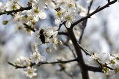 Insecto que poliniza y que vuela alrededor de la flor del flor en tiempo de primavera Imagen de archivo libre de regalías