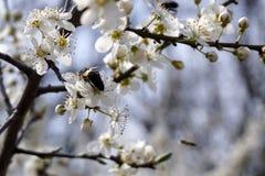 Insecto que poliniza y que vuela alrededor de la flor del flor en tiempo de primavera Fotografía de archivo