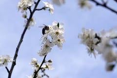 Insecto que poliniza y que vuela alrededor de la flor del flor en tiempo de primavera Foto de archivo libre de regalías