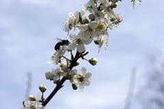 Insecto que poliniza y que vuela alrededor de la flor del flor en tiempo de primavera Fotos de archivo libres de regalías