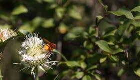 Insecto que recoge el polen de la planta Foto de archivo libre de regalías