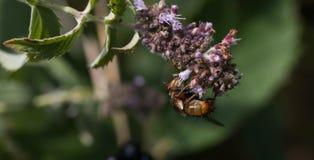 Insecto que recoge el polen de la planta Foto de archivo