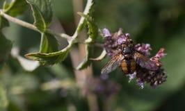Insecto que recoge el polen de la planta Fotos de archivo