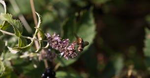 Insecto que recoge el polen de la planta Imagenes de archivo