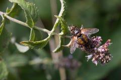 Insecto que recoge el polen de la planta Imagen de archivo