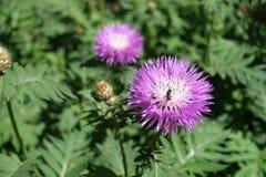 Insecto que se sienta en la flor del dealbata del Centaurea Foto de archivo libre de regalías