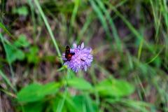 Insecto que se sienta en la flor púrpura Imágenes de archivo libres de regalías