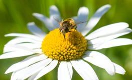 Insecto que se sienta en una flor Fotografía de archivo