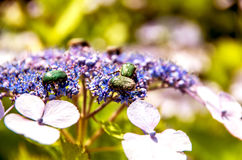 Insecto que trabaja en hortensia Fotografía de archivo libre de regalías