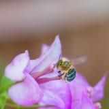 Insecto que vuela para florecer Fotografía de archivo libre de regalías