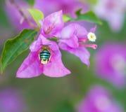 Insecto que vuela para florecer Foto de archivo